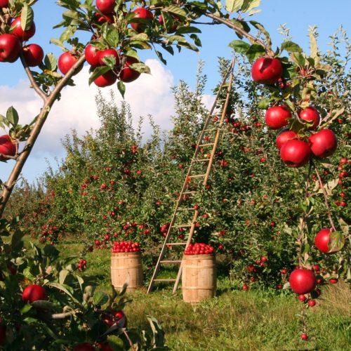 Tegoroczne zbiory owoców będą nawet o 30 proc. niższe niż zwykle. To odbije się na cenach