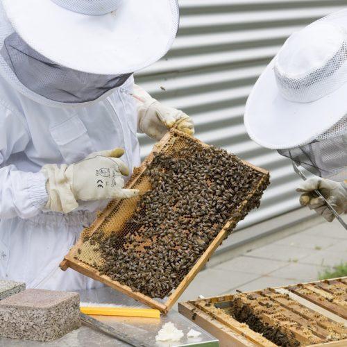 Przybywa pszczół w miastach