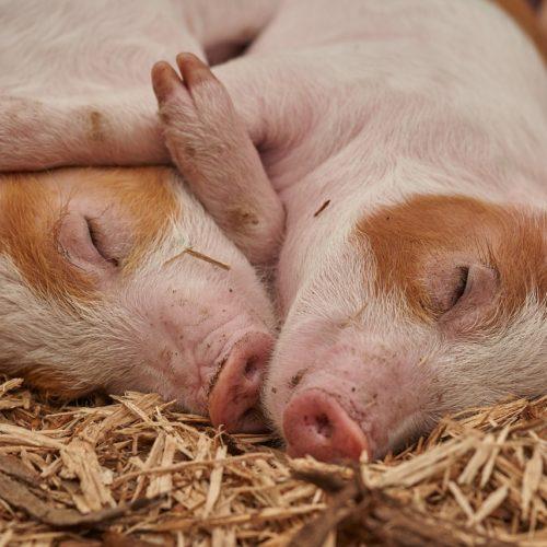 Producenci świń i tytoniu mogą się ubiegać o pomoc finansową z tytułu niezapłaconych faktur